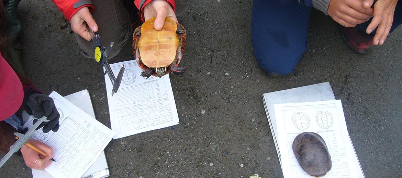 Mesure du plastron d'une tortue peinte à l'aide d'un vernier à coulisse
