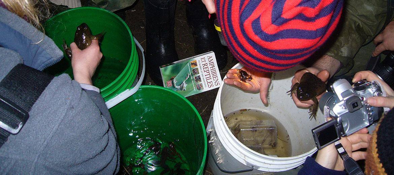 Identification des amphibiens capturés dans un étang avec des filets troubleaux