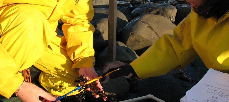 Estimation du pourcentage de recouvrement des algues marines dans la zone intertidale
