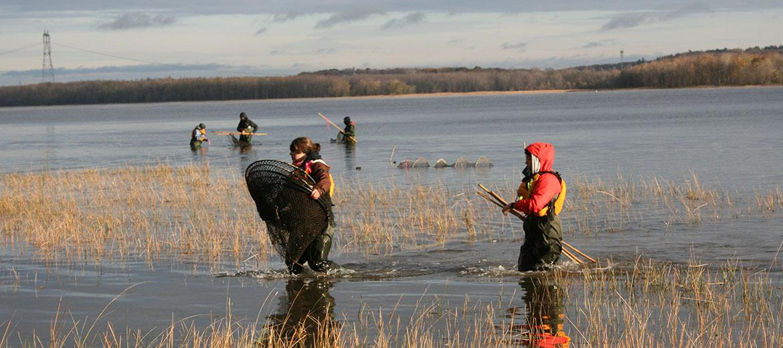 Installation de filets verveux dans le fleuve pour la capture de poissons