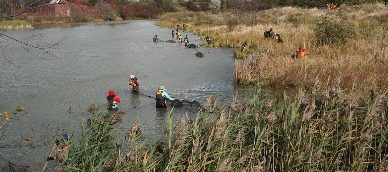 Installation de filets verveux en rivière pour la capture de poissons