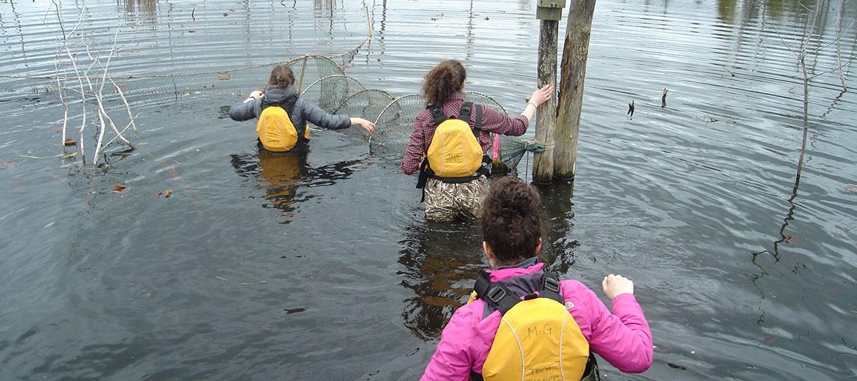 Installation de filet verveux dans un marais pour la capture de tortues